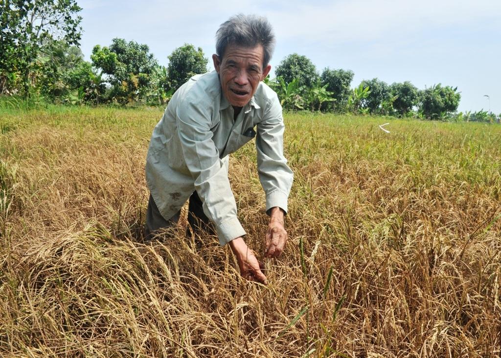 Ông Tài cho biết, 8,5 ha đất lúa của mình bị thiệt hại đến 95%. Qua hai mùa bị thiệt hại do hạn, mặn, ông Tài đã thiếu nợ gần 200 triệu đồng.