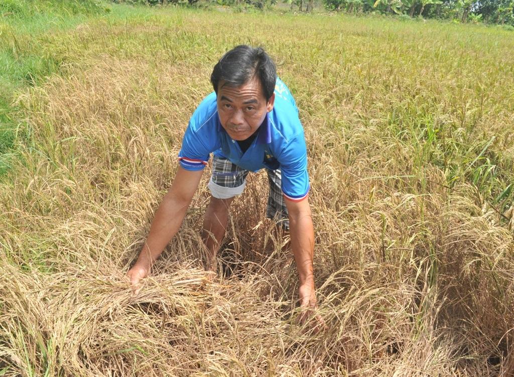 Anh Phan Hùng Vũ cho biết dù mỗi công chỉ kiếm được 4 -5 giạ lúa nhưng cũng phải gặt để lấy rơm trồng dưa lê, kiếm tiền trả nợ