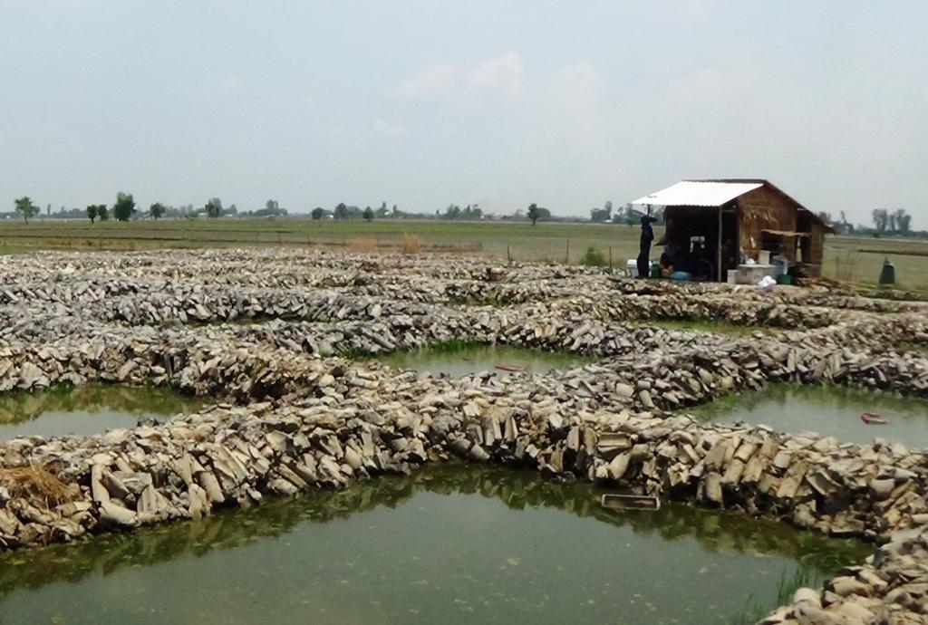 Trước lợi nhuận gấp nhiền lần so với trồng lúa, nhiều hộ dân đã lấy đất ruộng đào thành những cái ao nhỏ nuôi cá giống thế này