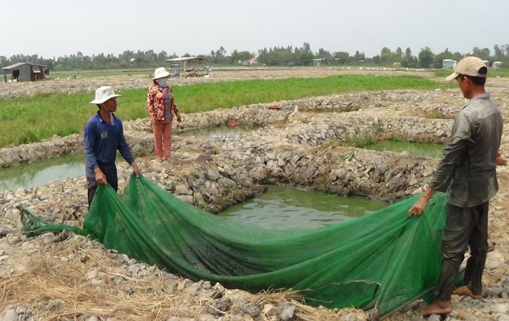 Trung bình 1.000m2 đất, người ương cá lóc giống thu lãi cả chục triệu đồng/tháng