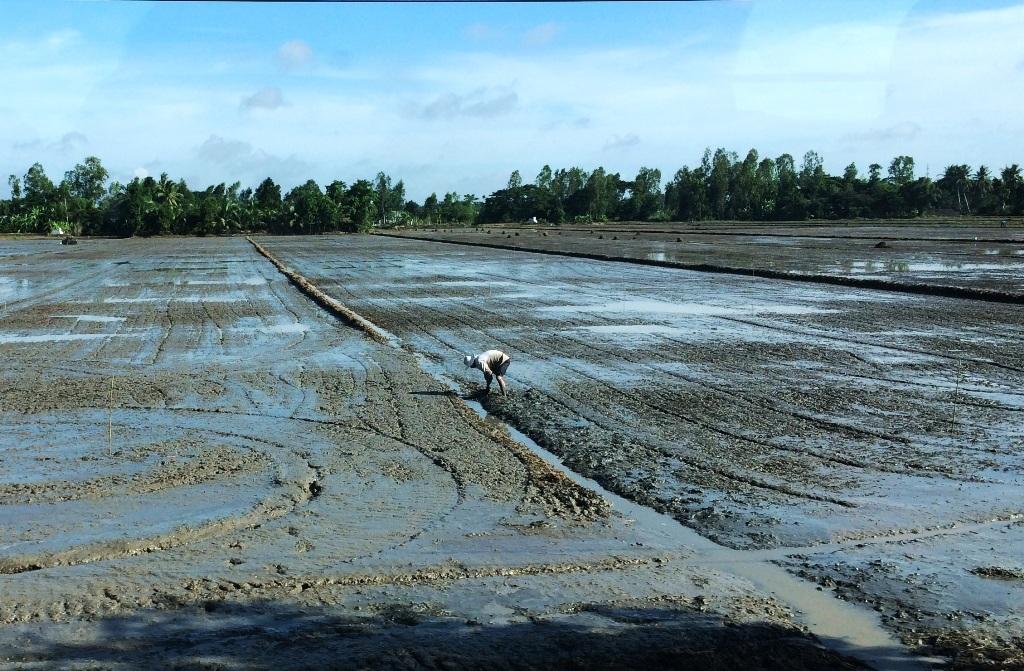 Hiện nay, nhiều địa phương ở Kiên Giang, Hậu Giang... đã xuống giống vụ Hè Thu nên khi gặp mưa dầm mấy ngày qua đã có hàng ngàn ha lúa mới gieo xạ bị thiệt hại, có nơi phải gieo sạ lại.