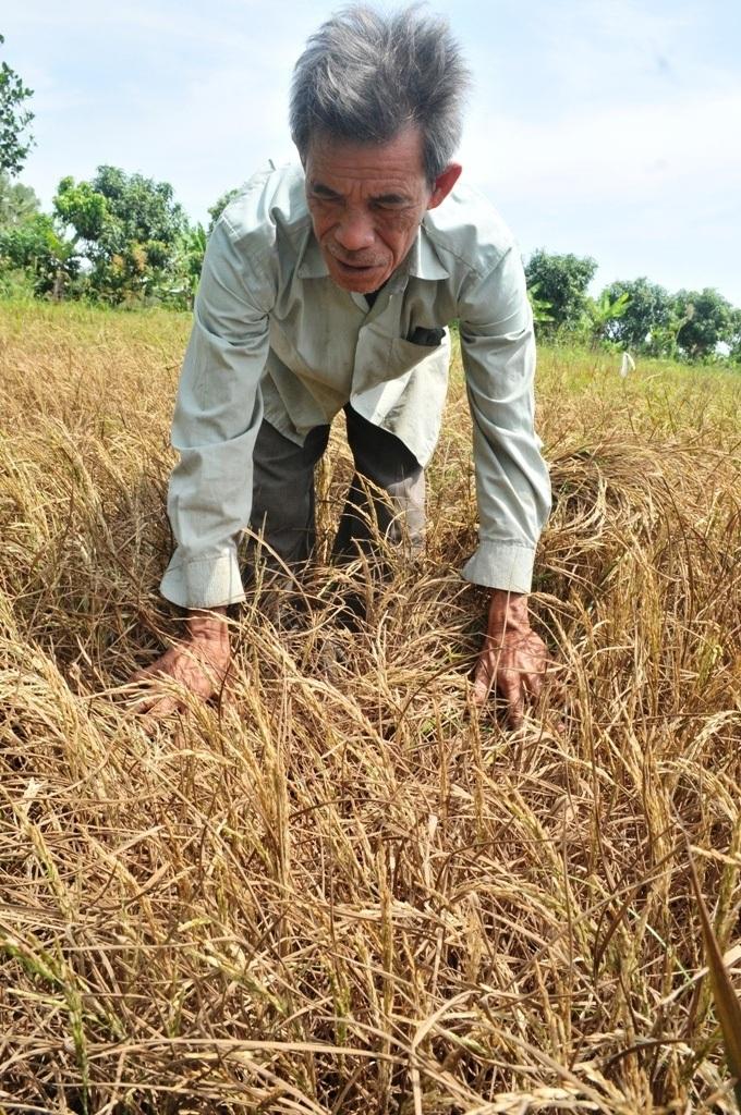 Trong vụ Mùa và Đông Xuân 2015 - 2016, hạn mặn đã gây thiệt hại nặng cho vựa lúa ĐBSCL