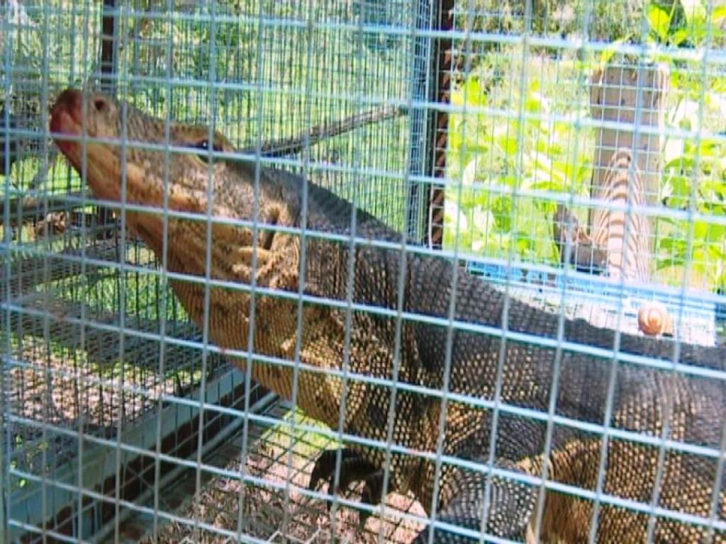Con kỳ đà núi nặng 14kg của ông Trương Thanh Hùng trao tặng lại cho Vườn Quốc gia Tràm Chim chăm sóc