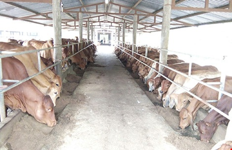 Cục Hải quan Đồng Nai phủ nhận tất cả trách nhiệm liên quan đến việc xác định thuế lô hàng nhập khẩu 376 con bò giống