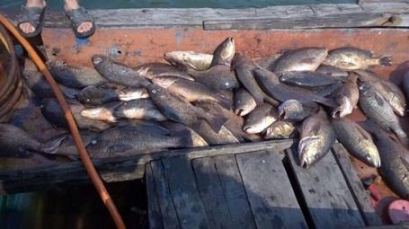 Cá chết trắng lồng được vớt lên thuyền đưa đi tiêu hủy.