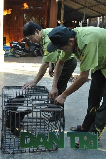 Cá thể voọc sau đó đã được ông Phạm Văn Hùng tự nguyện bàn giao cho lực lượng kiểm lâm Hà Tĩnh.