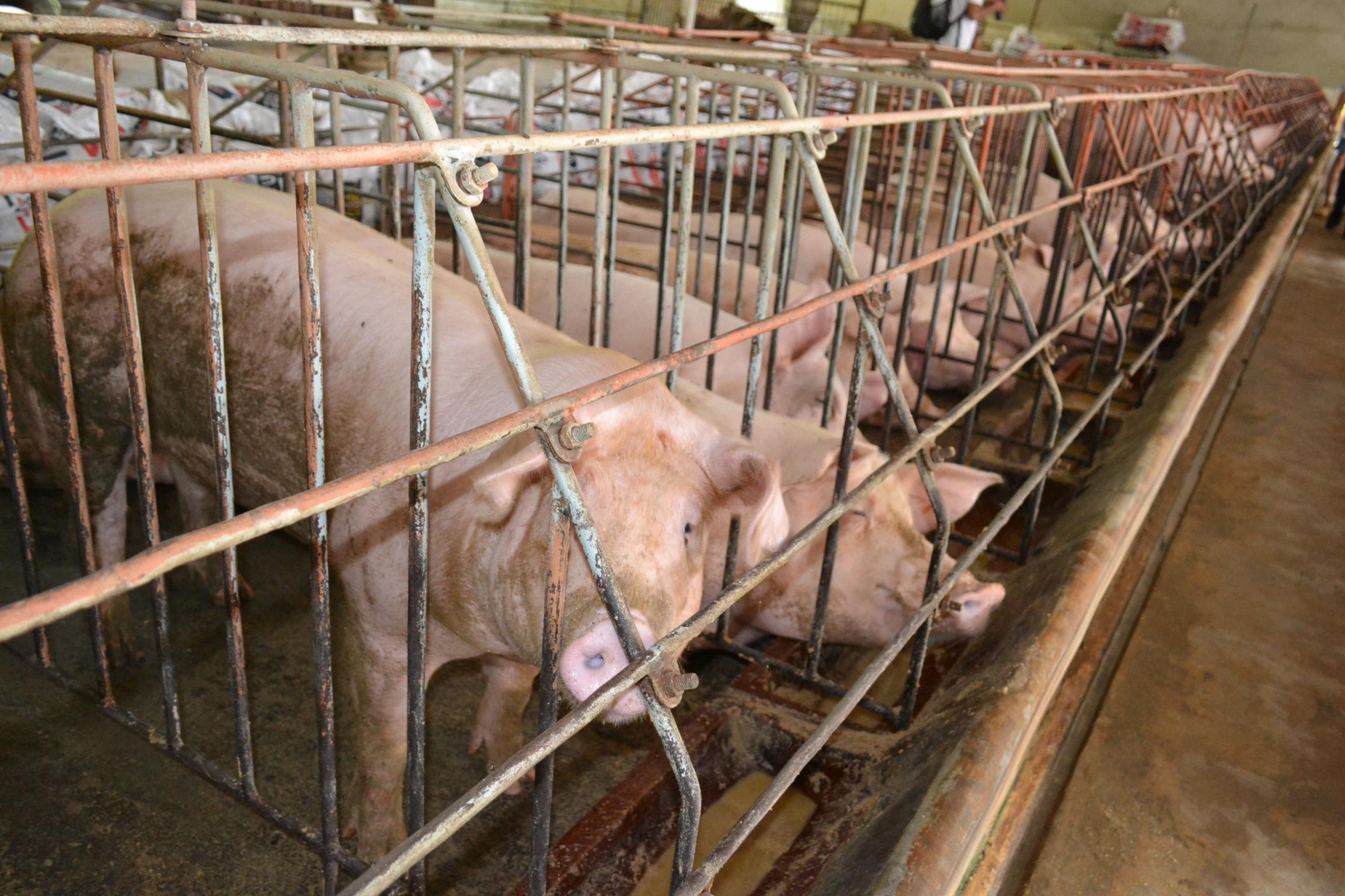Gần 1.000 con heo tại Đồng Nai lại bị phát hiện sử dụng chất cấm