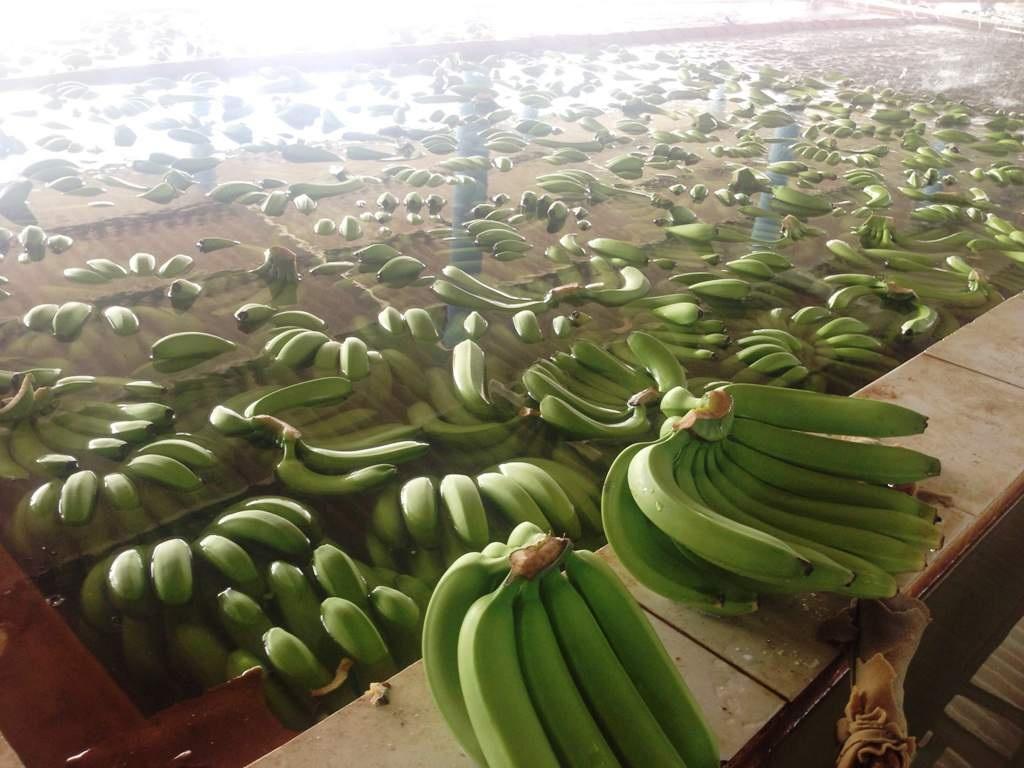 Quy trình khép kín của vườn chuối được thực hiện từ khi trồng đến khi đóng gói đưa đi xuất khẩu.