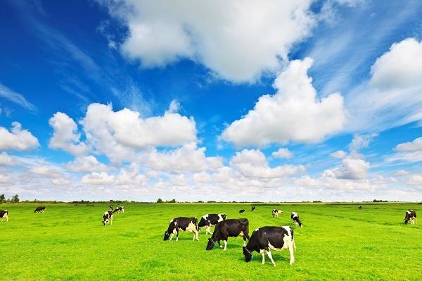 Đàn bò được chăn thả trên đồng cỏ hữu cơ hoàn toàn tự nhiên quanh năm