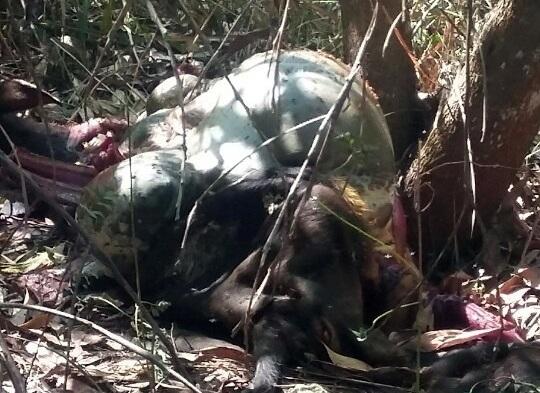 Cá thể bò tót được phát hiện nằm chết trên bãi đất trống