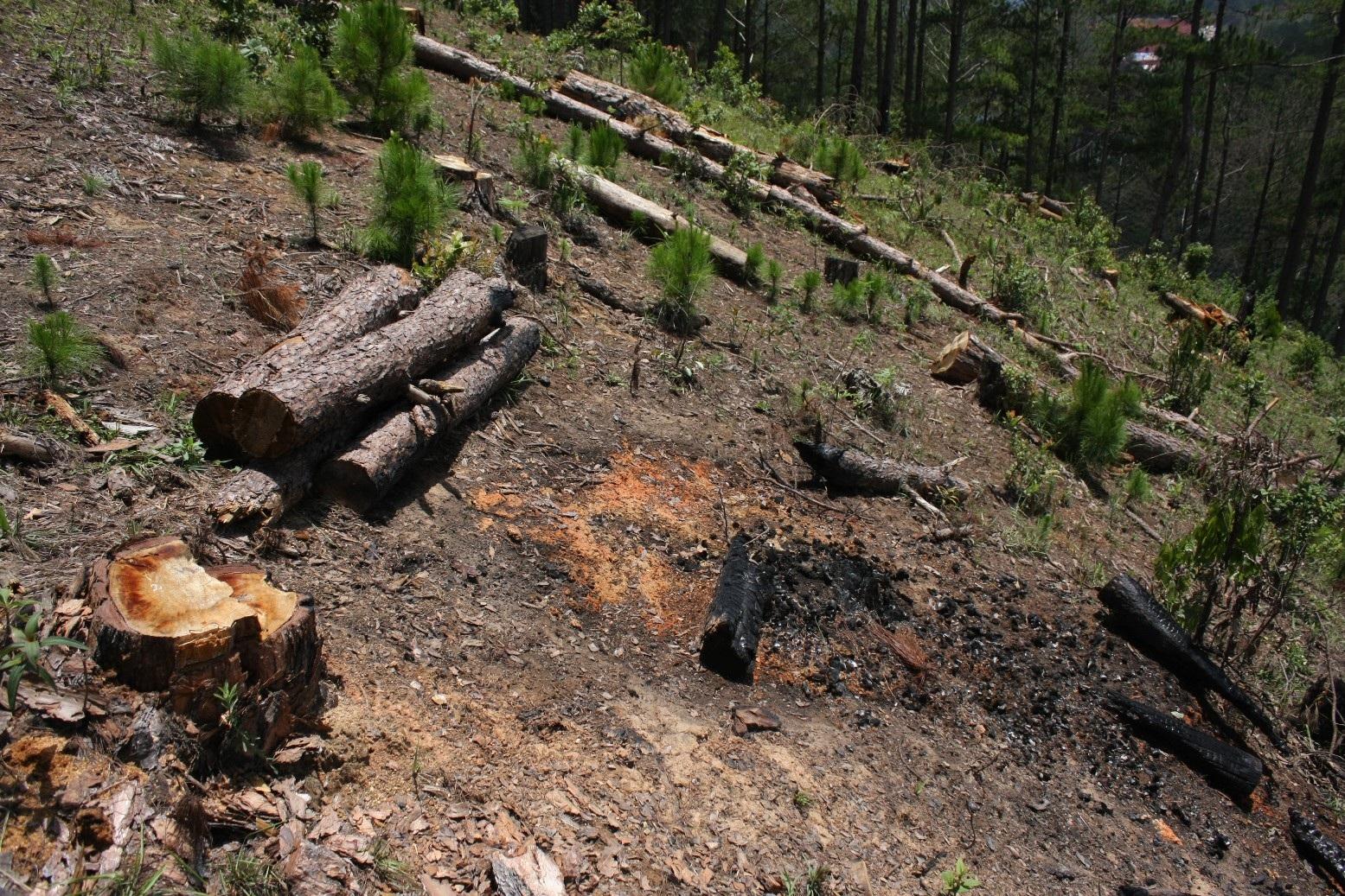 Một vụ phá rừng thông tại Lâm Hà- Lâm Đồng (ảnh minh họa)