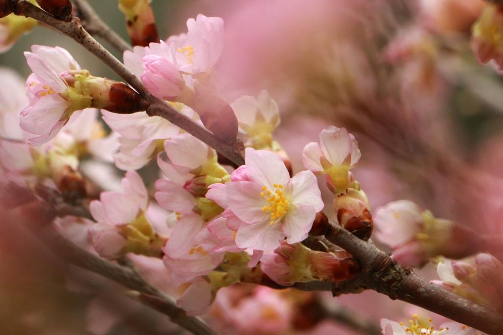 Những bông hoa anh đào Nhật Bản khoe sắc rực rỡ.