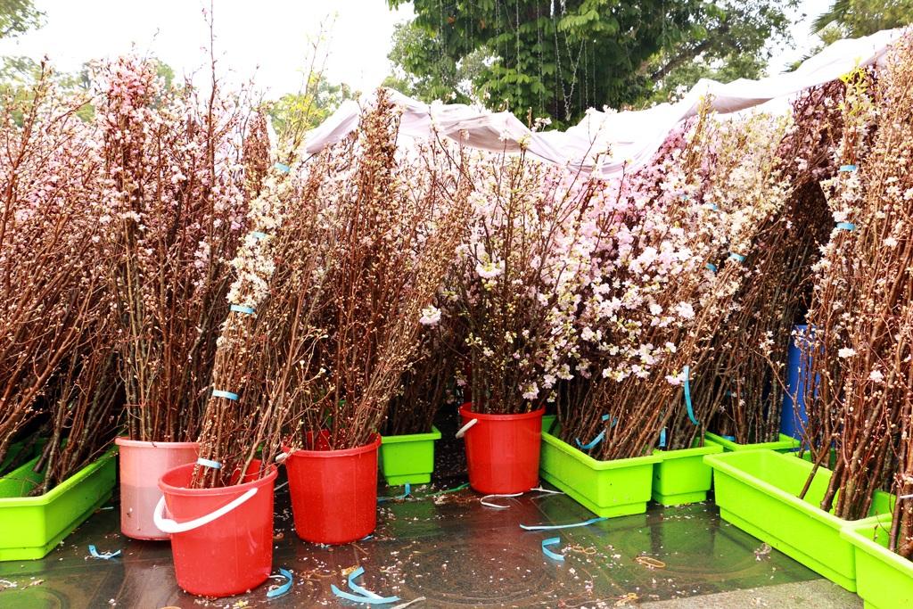Hơn 10.000 cành hoa anh đào được trưng bày và giới thiệu tới công chúng thủ đô trong đợt này. Bên cạnh đó, về phía Việt Nam, các nghệ nhân hoa cũng sẽ dàn dựng những tiểu cảnh hoa giới thiệu những loài hoa đẹp của Việt Nam.