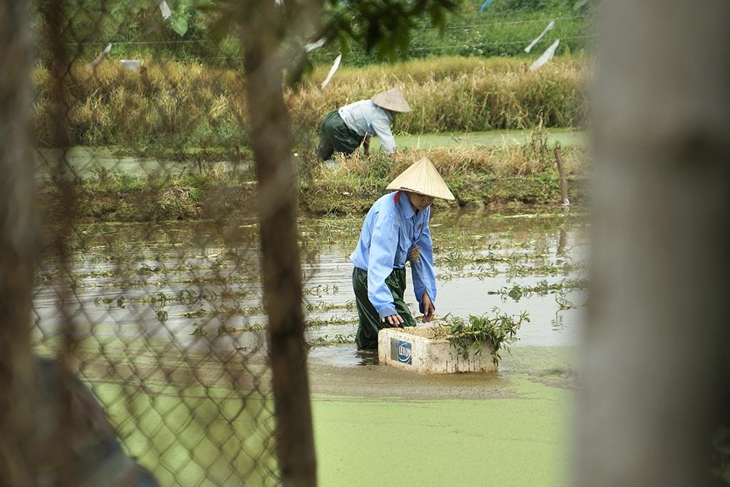 """Hà Nội: Ruộng rau lớn xanh mướt """"nhờ"""" nước thải đen kịt, bốc mùi - 14"""