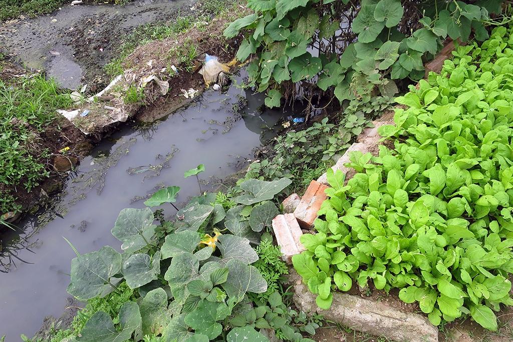 Mương nước thải đen kịt chảy vào ruộng rau, xung quanh là rau cải, rau bí xanh mơn mởn.