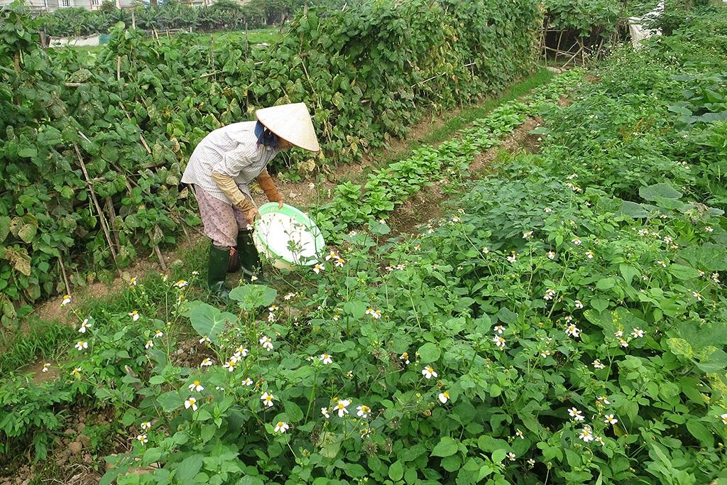 Rau trồng xanh mướt nhưng đáng tiếc là được tưới bằng nước thải.