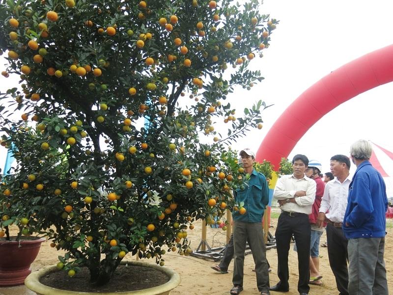 Hàng trăm cây quật cảnh cỡ khủng được người dân mang ra trưng bày trong Ngày hội để người dân và du khách thưởng lãm