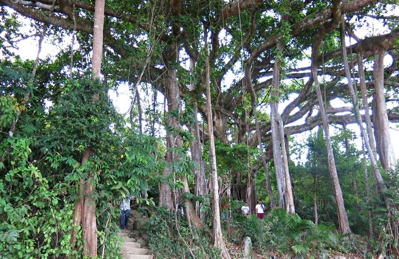 Cây đa di sản ở bán đảo Sơn Trà