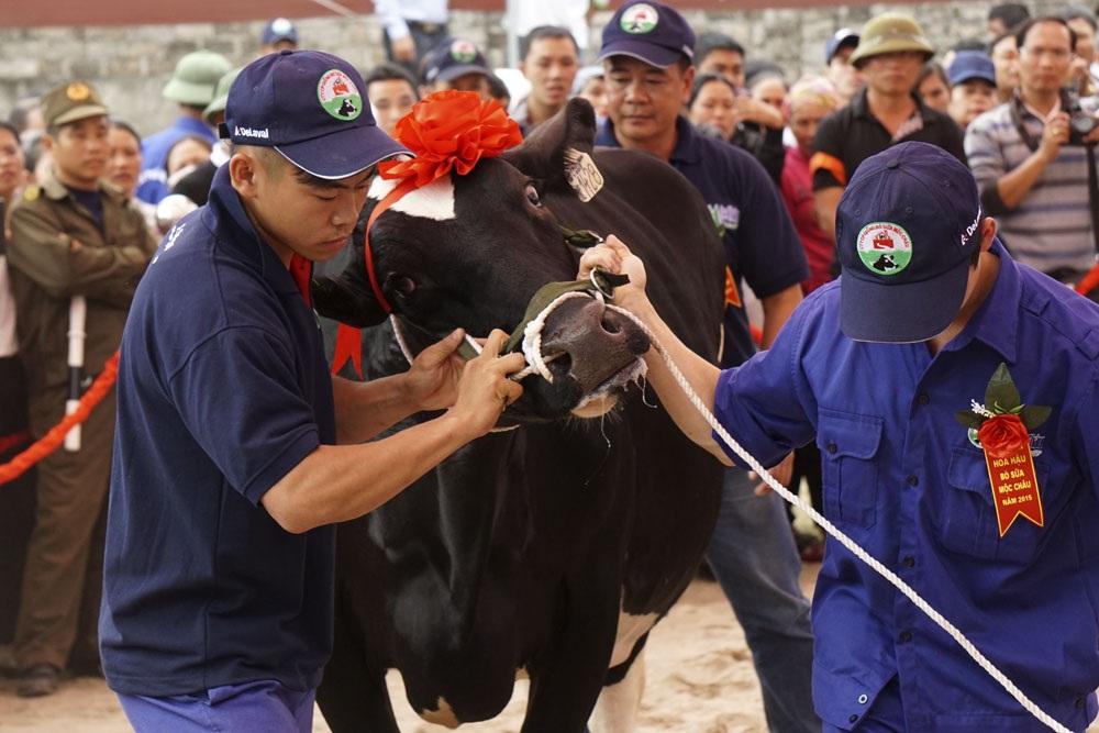 Tinh phân định giới tính là kết quả quá trình đầu tư lâu dài nhằm đạt được tỷ lệ sinh bò cái cao của Công ty cổ phần Giống bò sữa Mộc Châu.