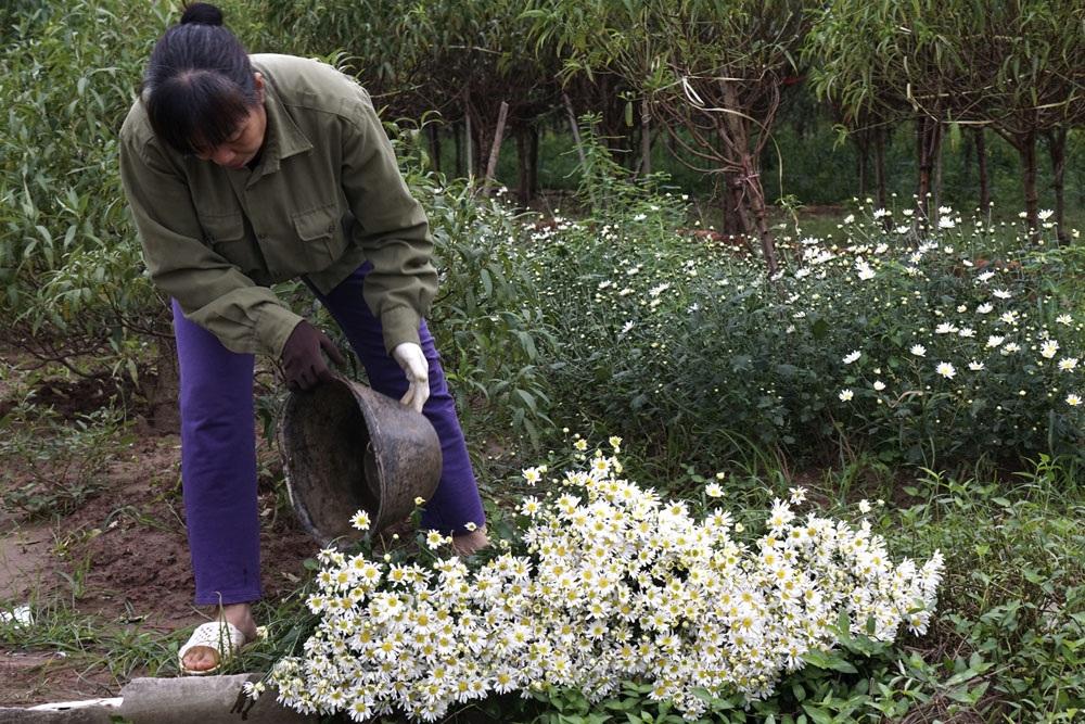 Những bó hoa vừa được cắt khỏi luống đang được người trồng chăm chút giữ tươi để chuẩn bị mang bán vào sáng hôm sau.