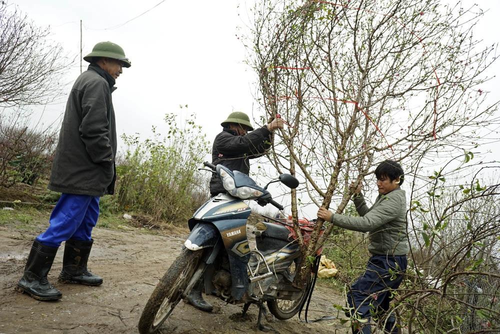 Cành đào cao khoảng 3 mét, già cây vừa được chủ vườn đánh lên, hi vọng sẽ bán được 700 - 800 nghìn đồng.