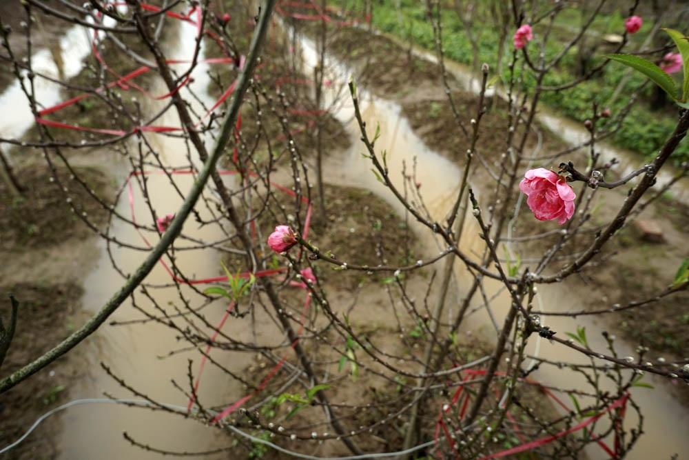Mưa phùn, gió rét không làm vắng vườn đào Nhật Tân - 13