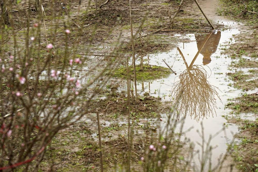 Nước đọng loang lổ trên vườn đào Nhật Tân.