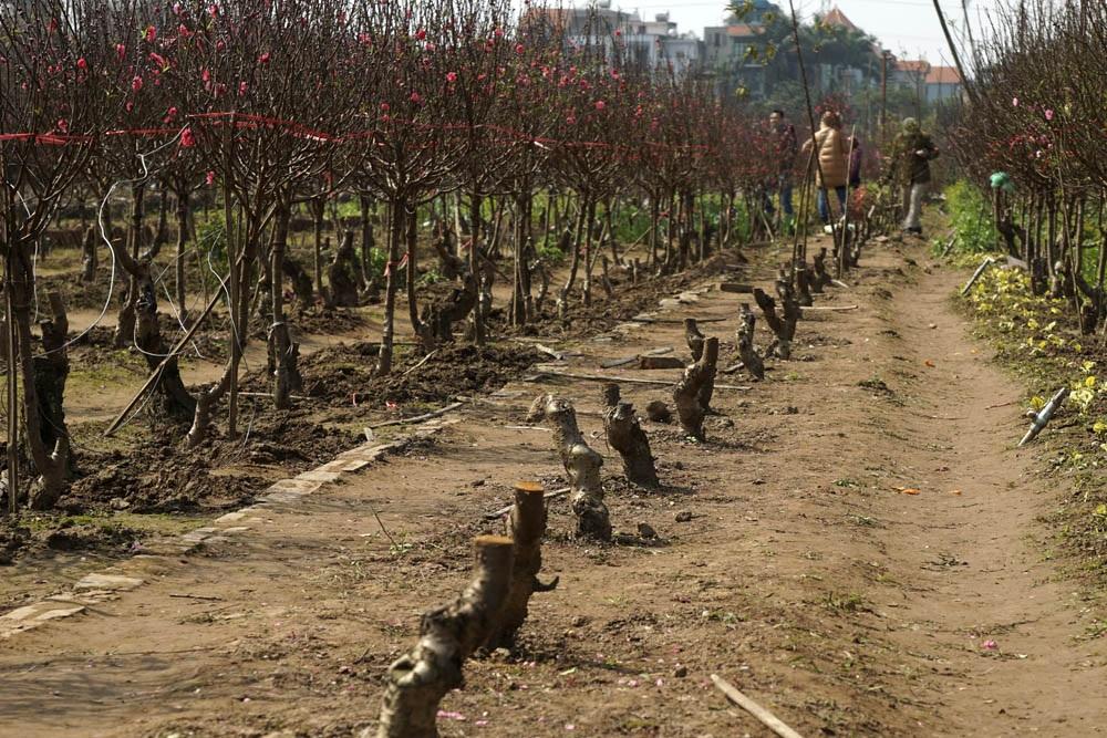Những luống đào trơ gốc, người trồng đào cũng chỉ mong có vậy.