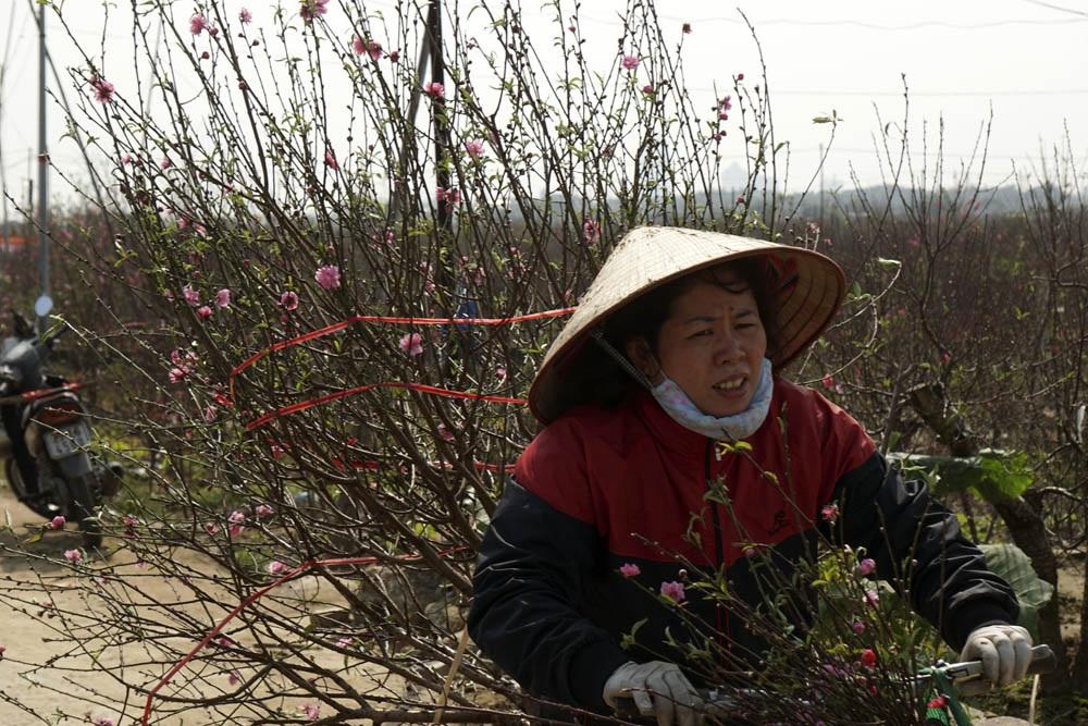 Vườn đào Nhật Tân trở thành chợ hoa cực kì nhộn nhịp - 12