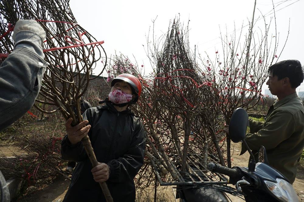 Người trồng đào và thương lái hối hả buộc đào lên xe mang bán.