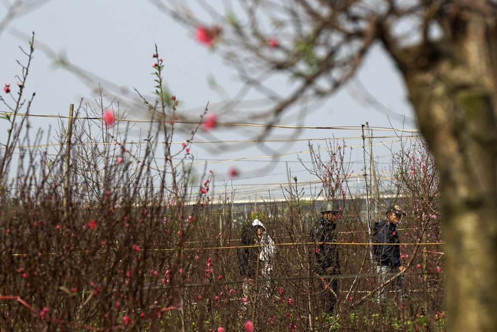 Vườn đào Nhật Tân trở thành chợ hoa cực kì nhộn nhịp - 5