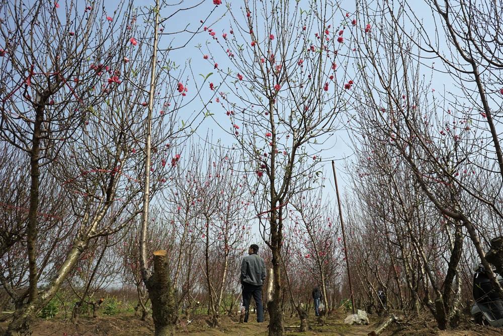 Vườn đào Nhật Tân trở thành chợ hoa cực kì nhộn nhịp - 7