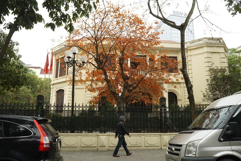 Cây lộc vừng mùa thay lá tuyệt đẹp, tô điểm cho các con phố của Hà Nội.