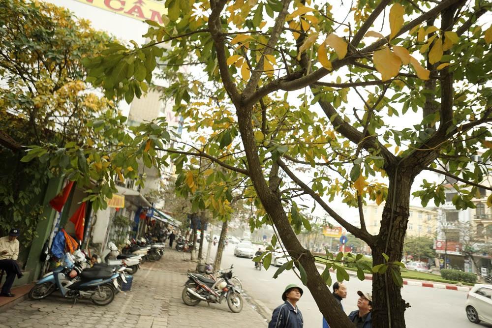Những cây lộc vừng mọc lẻ tẻ trên phố Văn Cao.