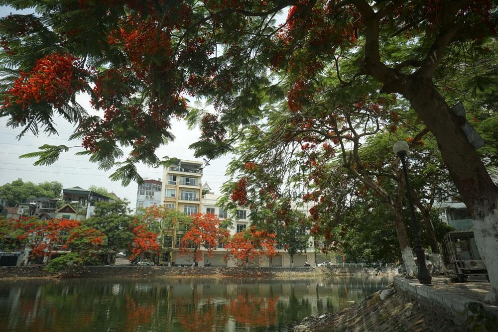 Vào thời điểm này, các cây phượng vĩ ở Hà Nội đang độ nở hoa sung mãn nhất, tập trung nhiều trên đường Thanh Niên, hồ Trúc Bạch, hồ Tây, đường Láng...