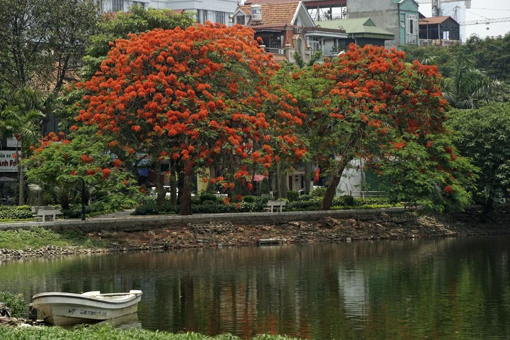 Hà Nội đỏ rực mùa hoa phượng - 10