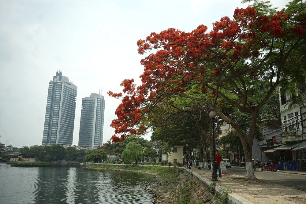 Cây phượng đỏ rực bên hồ Trúc Bạch.