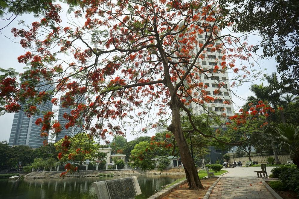 Rất nhiều cây ở thời điểm này chỉ nhìn thấy những chùm hoa che phủ, rất ít lá.