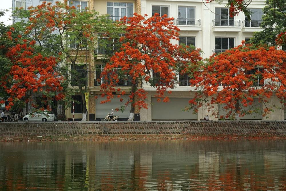 Màu đỏ sặc sỡ của hoa phượng rất đặc trưng của mùa hè.