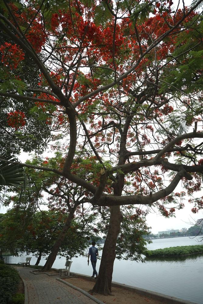 Hà Nội đỏ rực mùa hoa phượng - 9