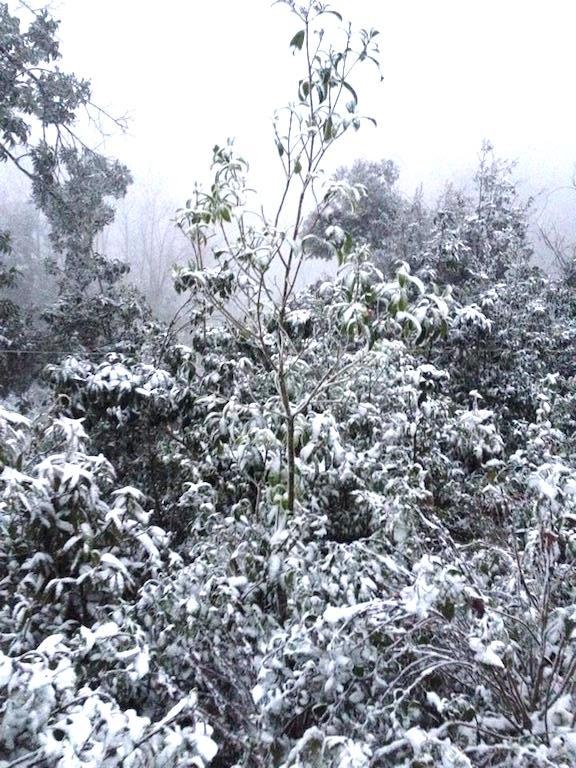 Các đồi cây phủ trắng tuyết.