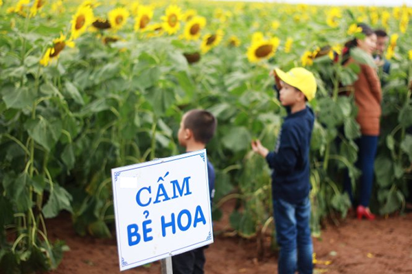 Biển cấm bẻ hoa được dựng trên cánh đồng hướng dương (ảnh: FB Nghệ An)