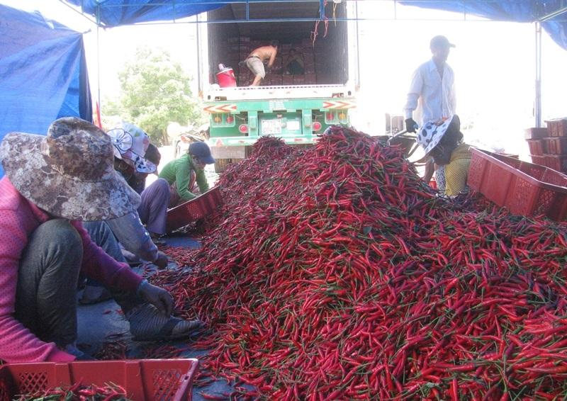 Thương lái huyện Phù Mỹ đang thu mua ớt chỉ địa