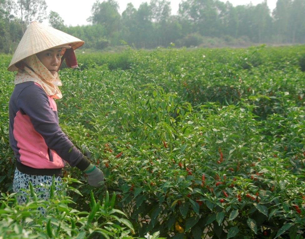 Nông dân Bình Hòa (huyện Tây Sơn) vui vì giá ớt chỉ thiên giá tăng trở lại