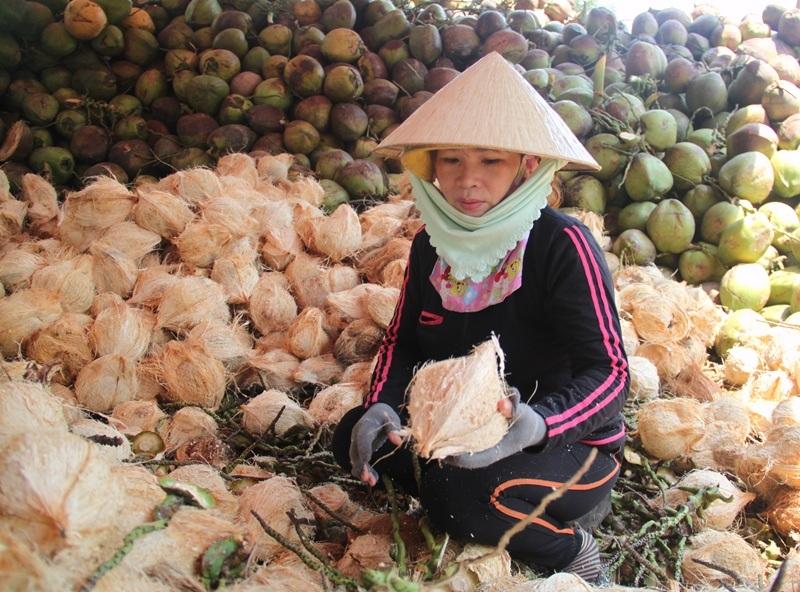 Xứ dừa huyện Hoài Nhơn (Bình Định) vui mừng vì dừa tăng giá