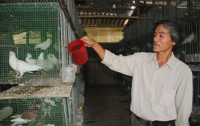Bí kíp nuôi bồ câu Pháp tách riêng của ông Lam đang cho hiệu quả kinh tế cao mà nhiều nông dân đang học hỏi