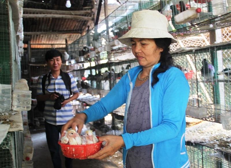 Bà Phan Thị Oanh (55 tuổi, vợ ông Lam) đang kiểm tra chim con có khỏe mạnh, sinh trưởng bình thường