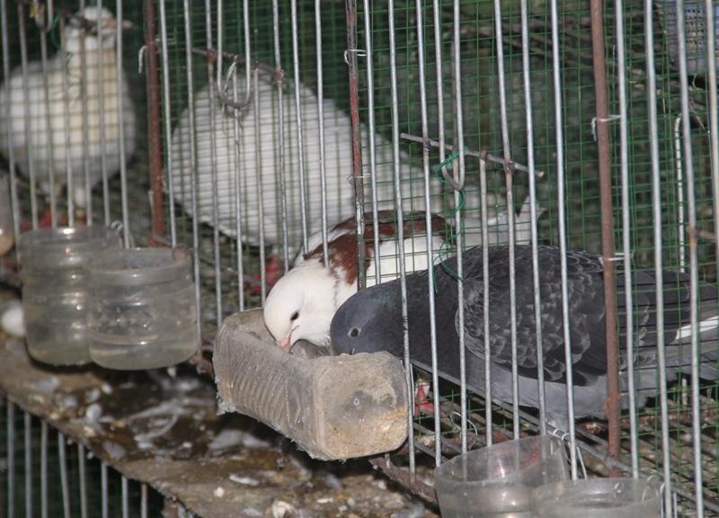 Chim bồ câu Pháp ít dịch bệnh