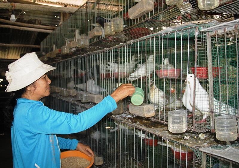 Mô hình nuôi bồ câu Pháp nhốt riêng từng cặp đang là hướng đi đúng của vợ chồng ông Lam và bà Oanh