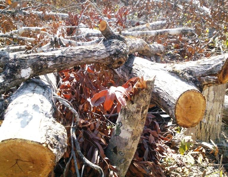 Gần 110 ha rừng bị chặt phá chủ yếu là rừng phòng hộ